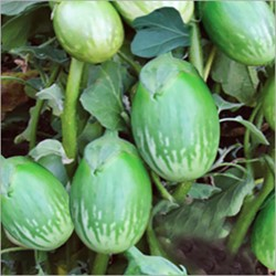 Picture of Brinjal Green Round - 1 Kg
