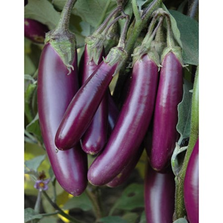 Picture of Brinjal Purple Long - 1 Kg