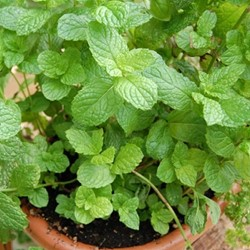 Picture of Mint/Pudina - 1 Bunch